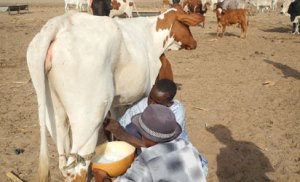Dairy farmer urges young graduates to embrace cattle farming