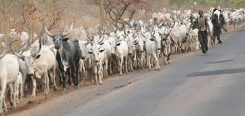 NSCDC cries out over cost of keeping 43 cows it seized in Ekiti