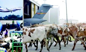 •Stray cows on the Akure airport runway