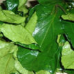 Consumption of `Ugwu leaves' improves fertility in men, women, says Experts — Vanguard News