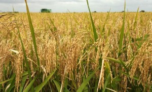 Rainfall: Benue rice farmers expect low yield