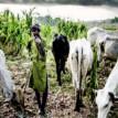 Killer herdsmen: Idjerhe youths urge Buhari, Okowa, others to intervene