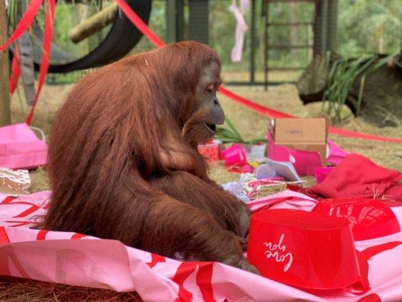 The orangutan named Sandra