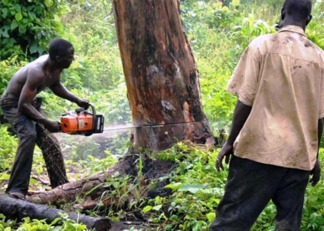 Kano plans law to stop indiscriminate felling of trees