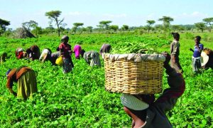 Food Security: Commercial banks're frustrating farmers' productivity — Eholor