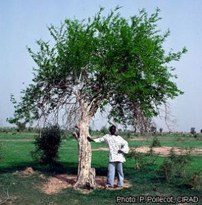 African Blackwood (Grenadilla) tree.