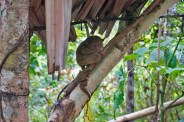 THE PHILIPPINES – A BACKPACKER'S GUIDE - The tarsier one of the smallest primates in the world