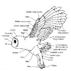 Eagle Anatomy Diagram Honda Cb450 Wiring Owls Pictures, Pics, Images And Photos For Your Tattoo Inspiration