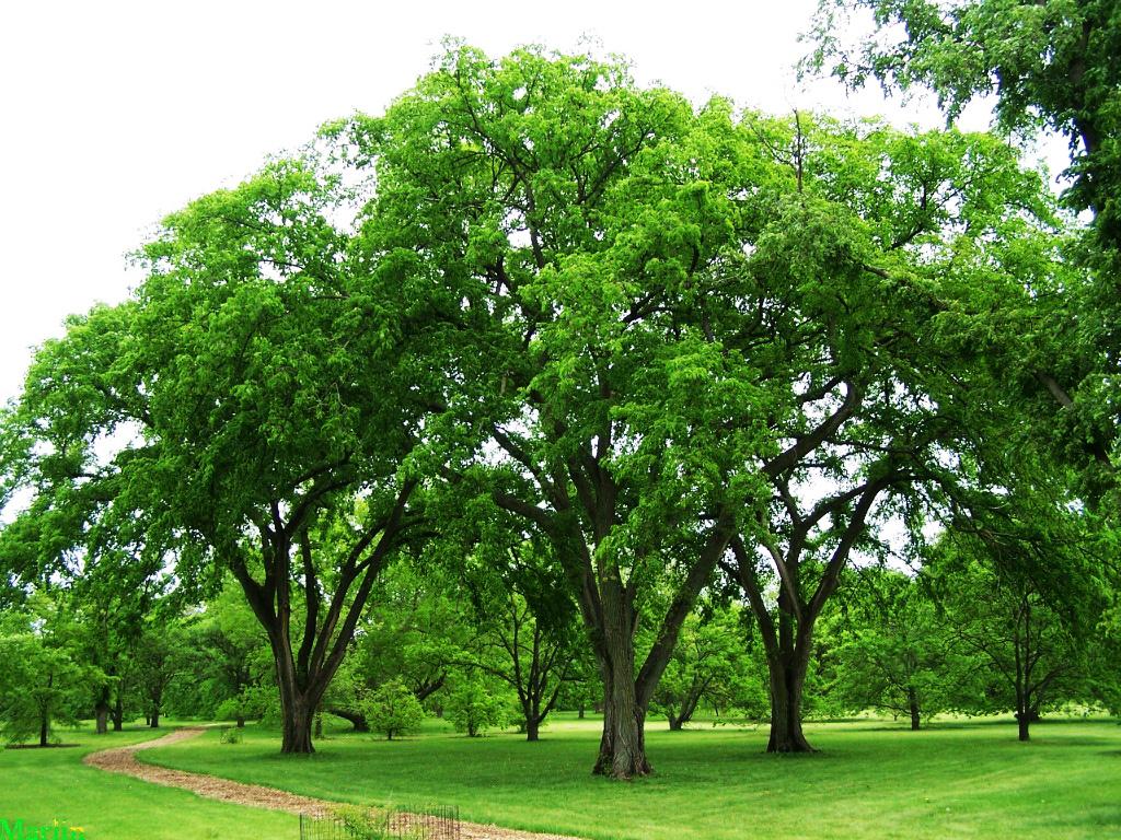 Kansas State Bird And Tree