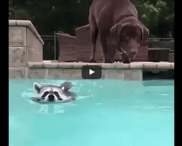 hond wasbeer zwembad