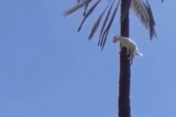 geit boom klimmen