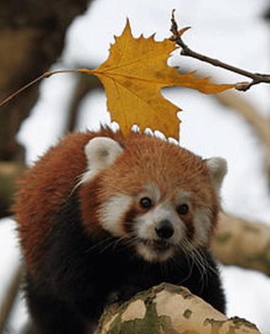 稀有小熊貓生病死亡 溫哥華動物園挨轟 - 社會新聞 - 溫哥華天空 - Vansky