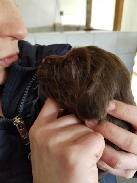 flatcoated pups 25febr-1
