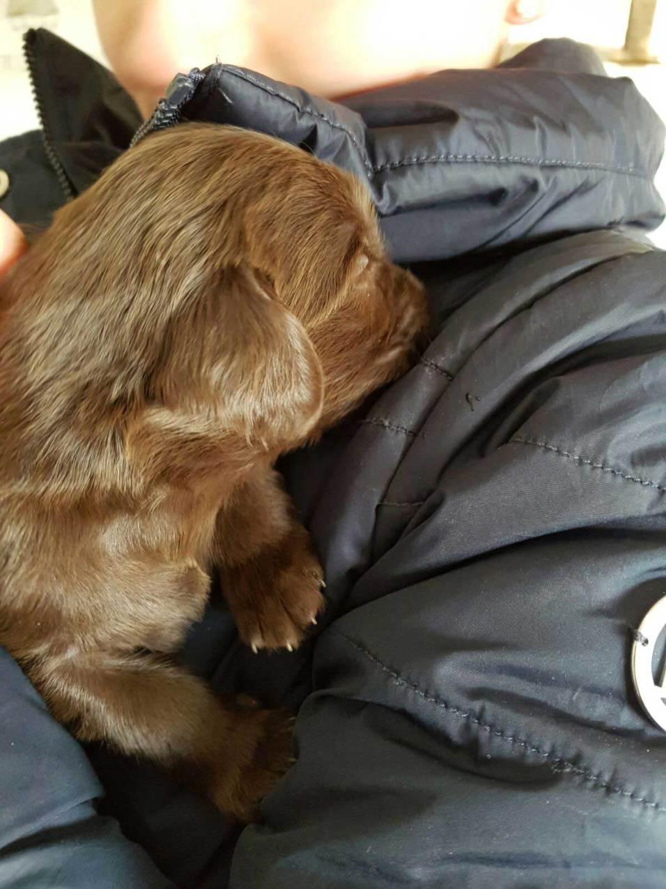 flatcoated pups 25febr-17