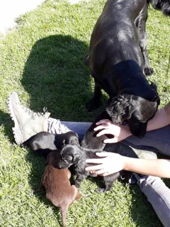 flatcoated pups kira2