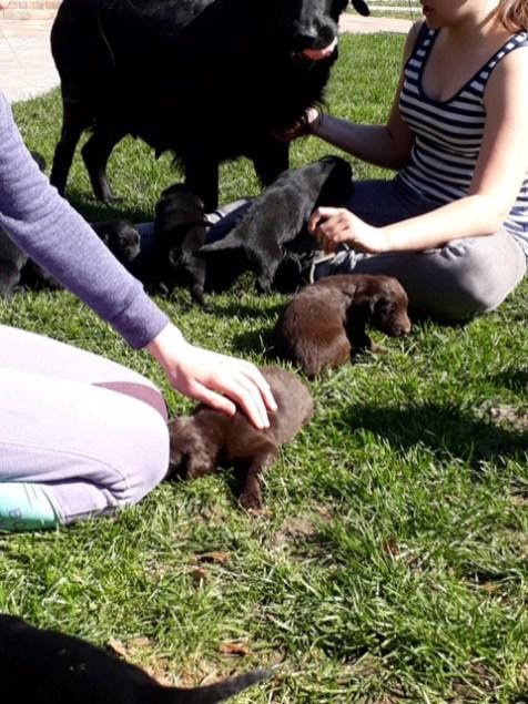 flatcoated pups kira4