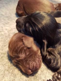 flatcoated retriever pups