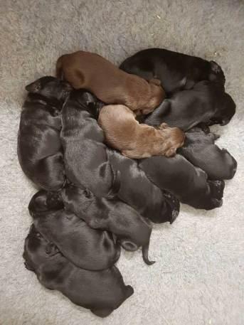 flatcoated pups 10mrt2