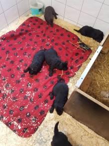 puppies-spokendam-flatcoated4