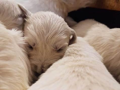 golden pups 19 jan2