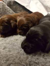 flatcoated pups 2