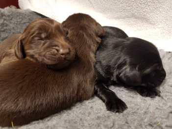 flatcoated pups 3