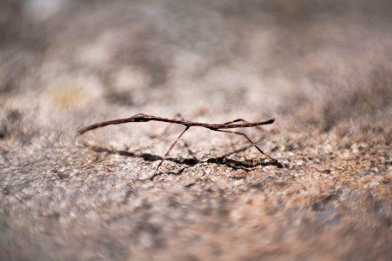 Větvičkový brouk