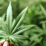 CANADA: l'impatto del fumo di cannabis sui non fumatori rimane sconosciuto.
