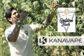 ECONOMIE: na Kanavape lanceert CBD-pionier premiumproduct Goldenbuds