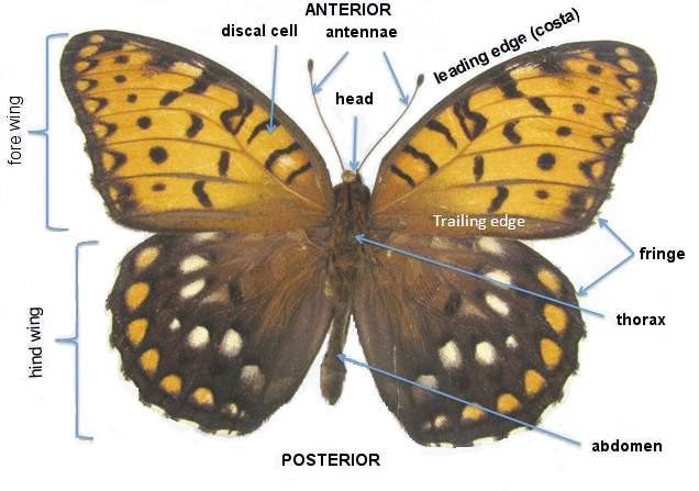 butterfly anatomy diagram immune system lepidoptera odonata web atlas glossary