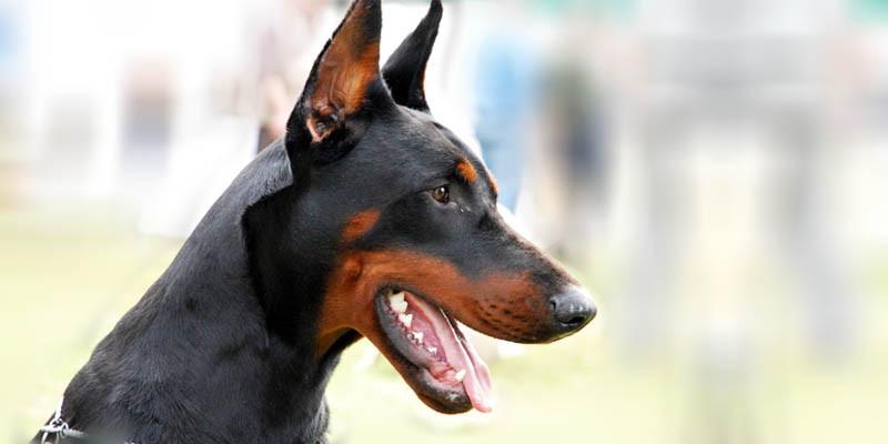 Al via il corso per proprietari di cani  Varese Polis
