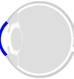 the front side of the eye is the cornea the cornea is transparent and consists of six layers the ring shaped transition from the cornea to the sclera is  [ 909 x 906 Pixel ]