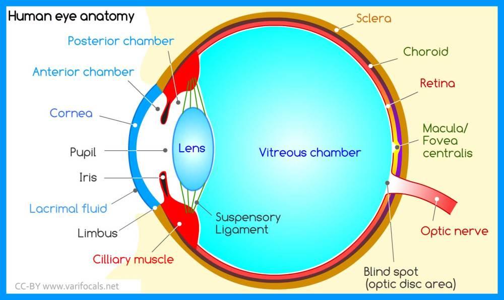 medium resolution of human eye anatomy
