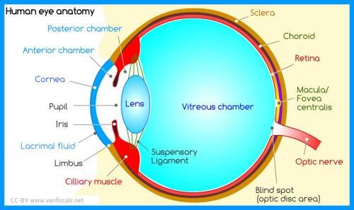 small resolution of human eye anatomy