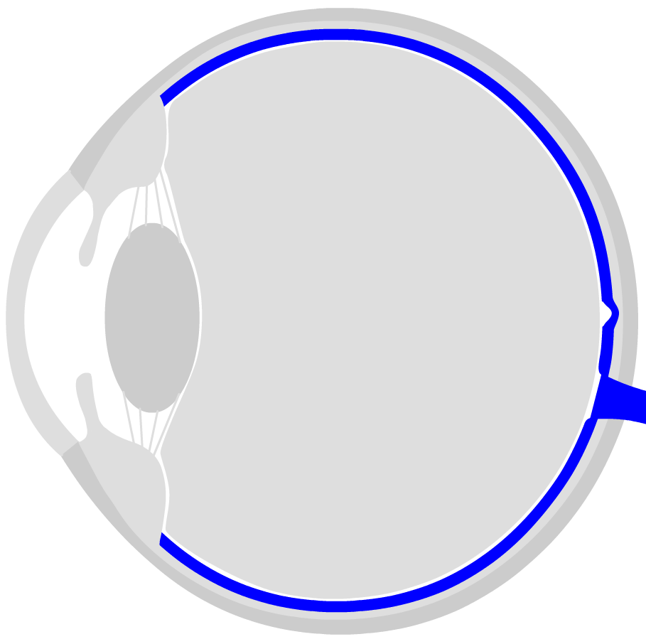hight resolution of the retina is located on the back inside of the eye it consists of different cell layers the photoreceptors sticks for chiaroscopy cones for color
