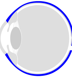 the eyeball is surrounded by three layers the outer shell is called sclera the dermis has a whitish colour in the front open part of the eye you can  [ 909 x 906 Pixel ]