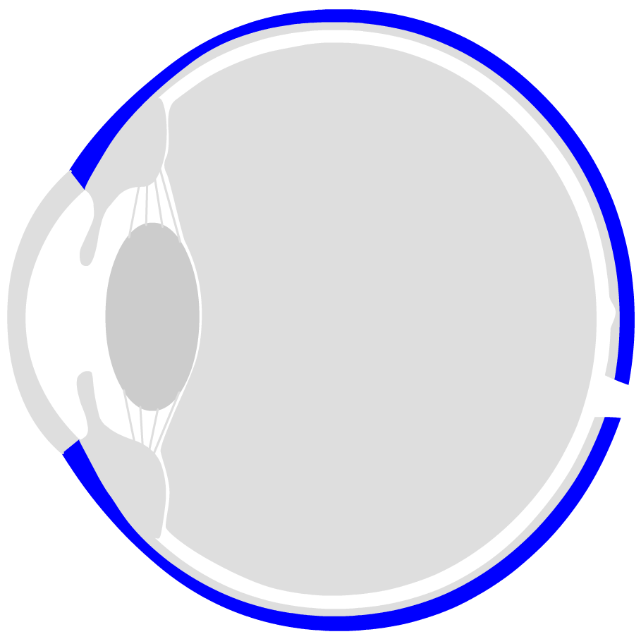 hight resolution of the eyeball is surrounded by three layers the outer shell is called sclera the dermis has a whitish colour in the front open part of the eye you can