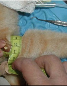 Cuff width should be of the appendage circumference for dogs also vasg doppler blood pressure basics rh