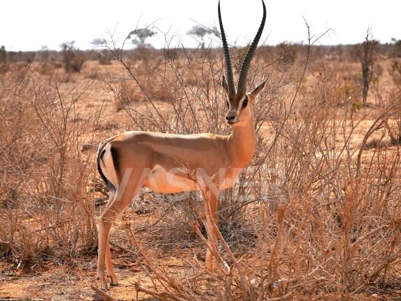Antilope Motiv Bildheizung Infrarot VASNER Panora