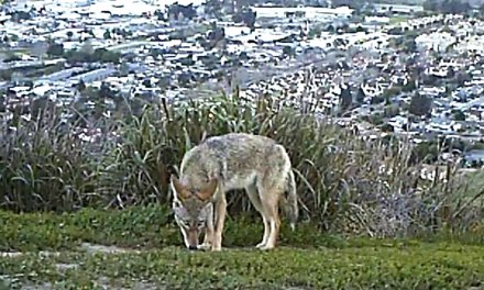 COYOTE NOT-SO-UGLY | Expert to discuss wild land predator co-existing with humans