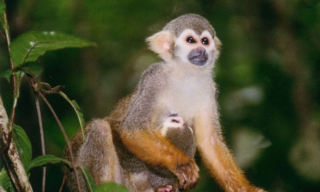 MONKEY BUSINESS | CLU educator dedicates life to understanding neotropical primates