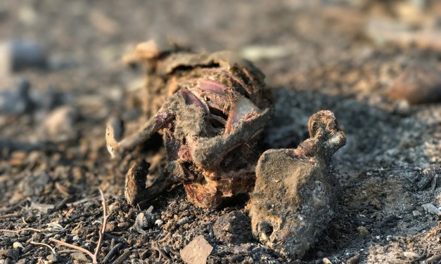 EXPOSED   Landscape, wildlife could look very different post-Thomas Fire