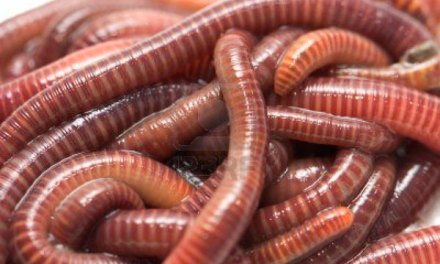 Worms: the silent food waste warrior