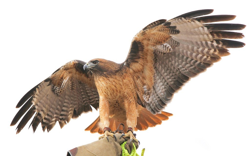 RAPTOR'D | Experts discuss impact of the use of birds of prey over rodenticide in Ventura