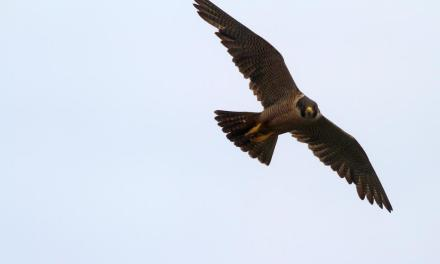 ALL ALONG THE AERIE | Peregrine falcons make a comeback on the Channel Islands