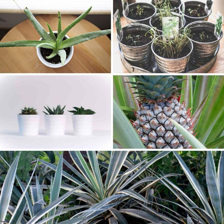 Piante da appartamento che necessitano di poche cure: aloe, aromatiche, cactacee, yucca, ananas