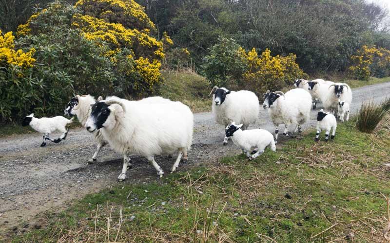 Highlands highway code – give way to oncoming Blackface sheep