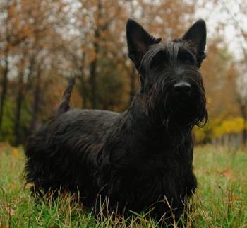 Scottish Terrier dog general features. temperament. health