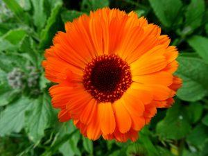 En esta foto os muestro una flor de la Caléndula