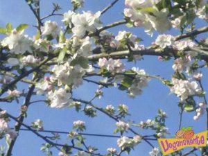 Manzanos en Flor